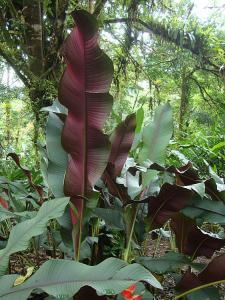 Heliconia 6_opt.jpg